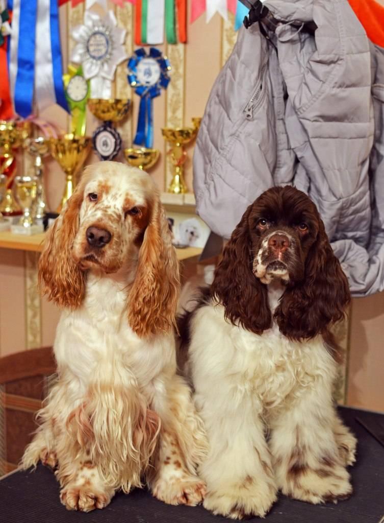 Различия американского и английского кокер-спаниелей (22 фото): отличия в характере. как собаки отличаются по внешнему виду?