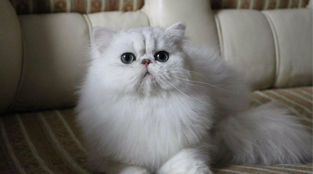 Персидская шиншилла (27 фото): описание породы и характер кошек, серебристый и золотой шиншилловый перс. сколько живут коты?