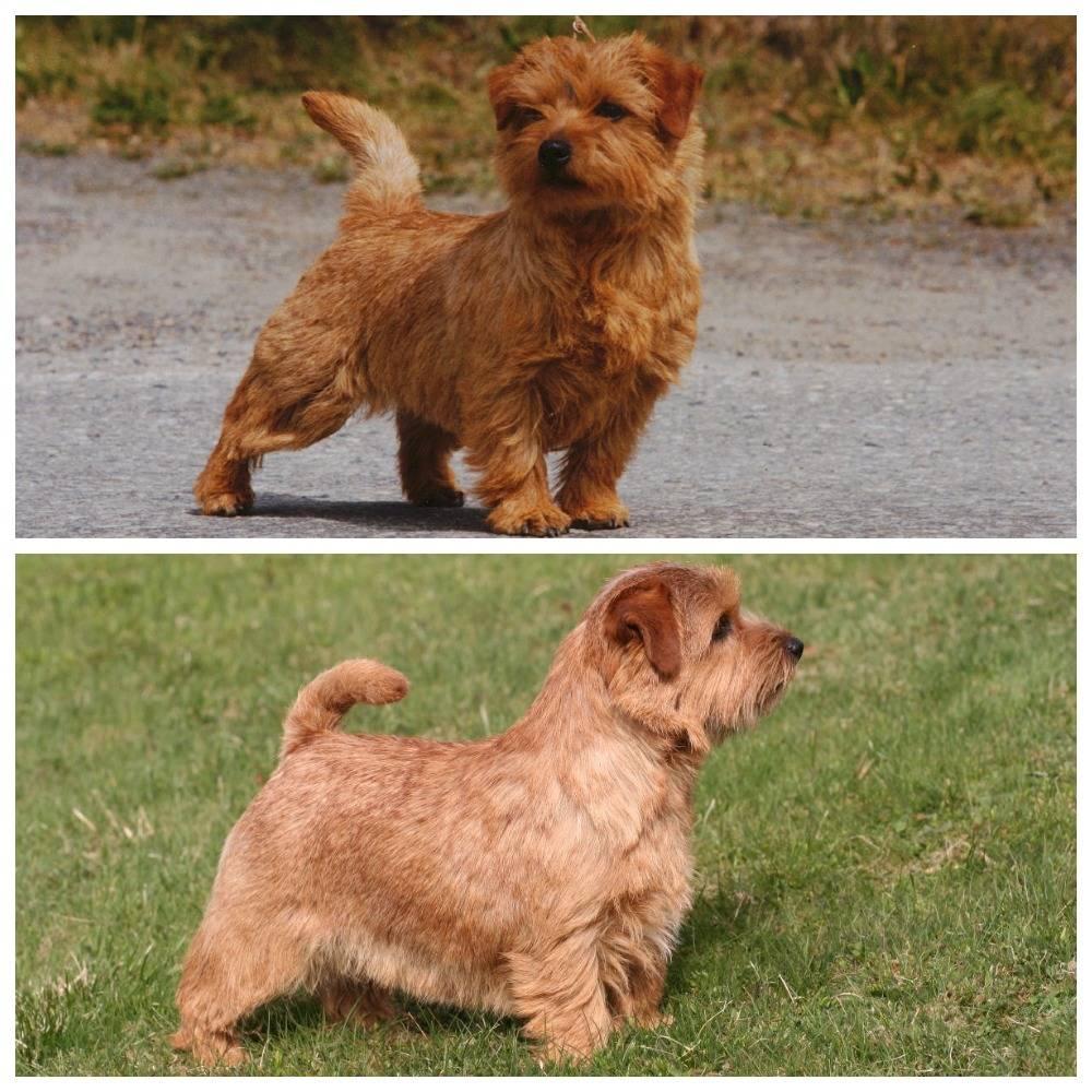 Норфолк терьер: описание породы, характер и воспитание, содержание и уход за собакой