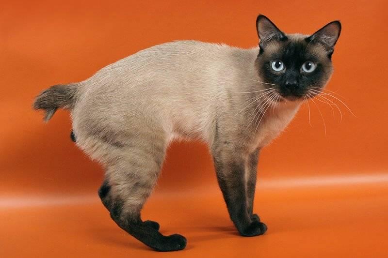 Меконгский бобтейл кошка. описание, особенности, уход и цена меконгского бобтейла