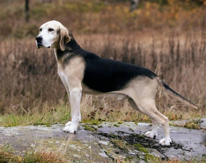 Ханаанская собака: описание породы, характер собаки и щенка, фото, цена