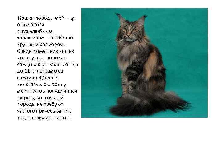 Характер мейн-кунов (38 фото): описание породы котов, повадки кошек и поведение с маленькими детьми, достоинства и недостатки, отзывы владельцев