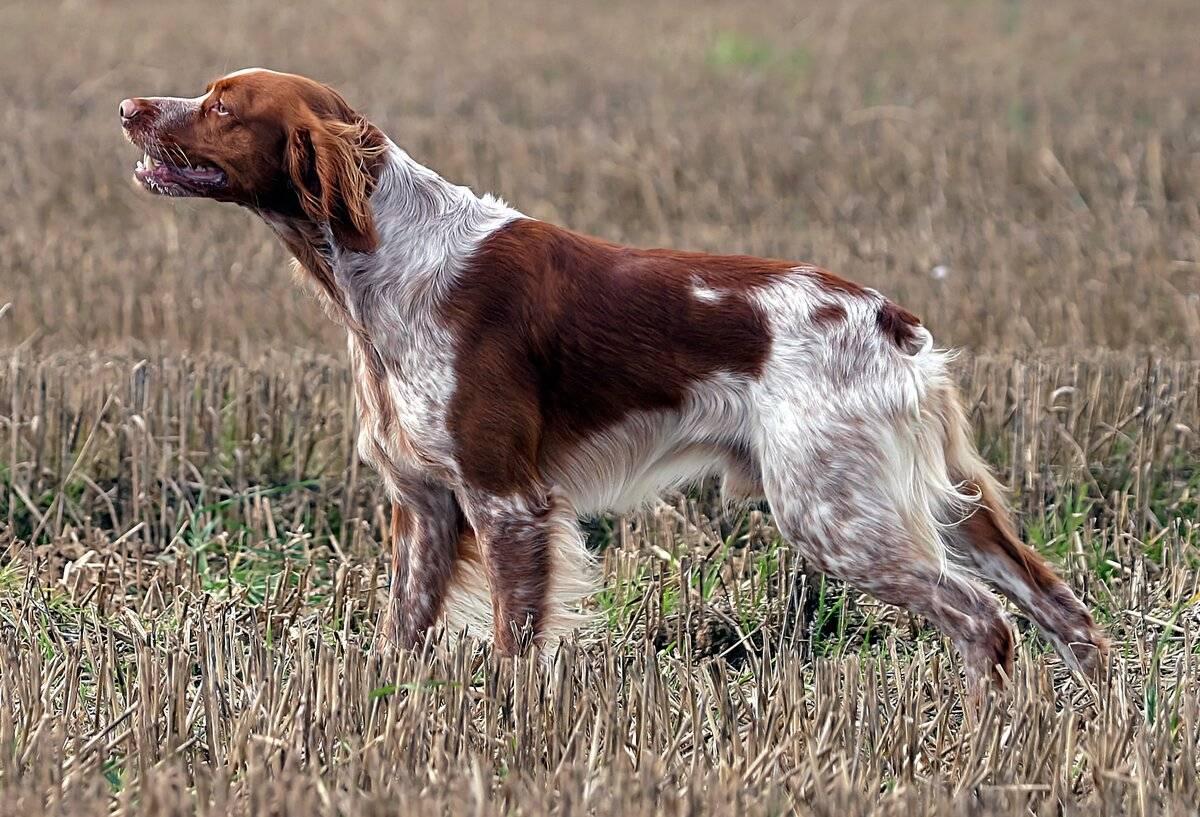 Охотничьи собаки: разновидности, характеристика, обучение