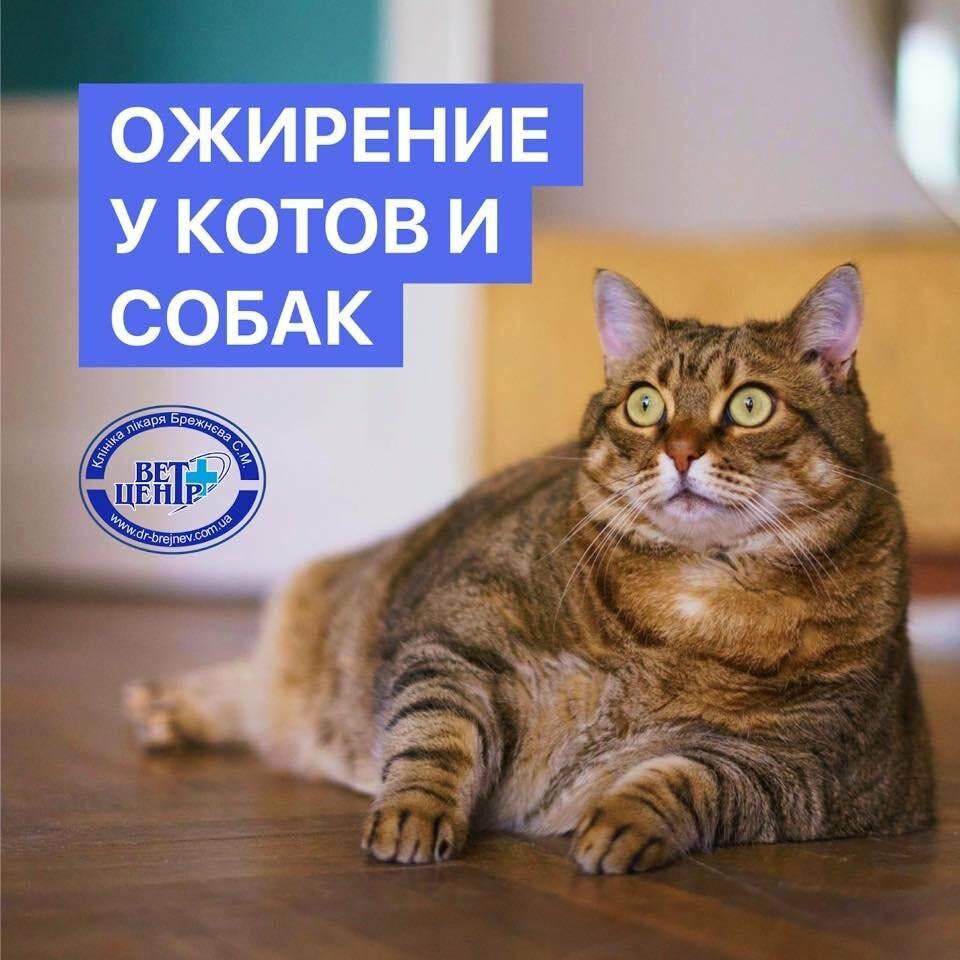Ожирения у домашних кошек. актуальность темы в наше время образ жизни изменился не только у человека, но и у домашних животных. всё больше кошек содержится. - презентация