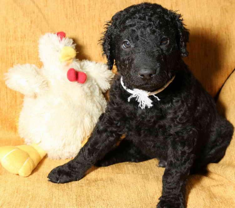 Обзор собак породы курчавошерстный ретривер: описание вида, стандарт и фото
