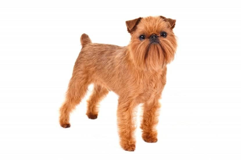 Порода собак грифон: описание брюссельского гриффона, отзывы, уход и содержание