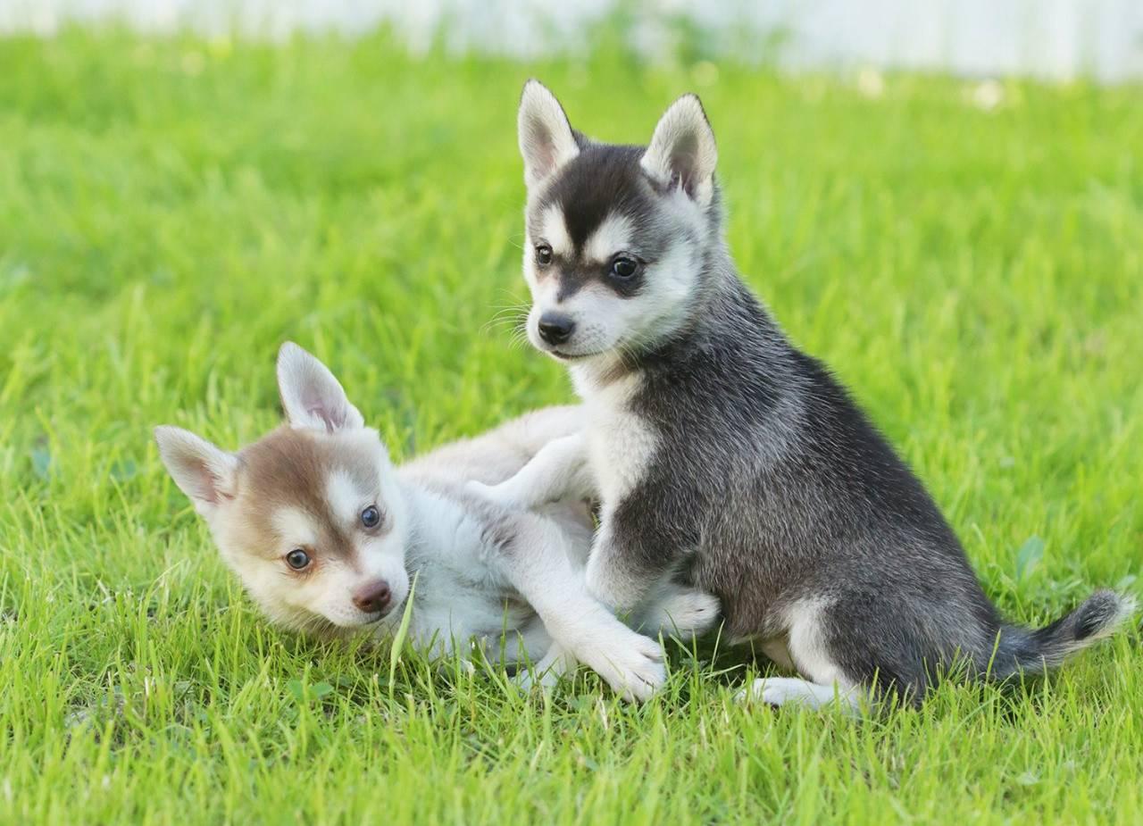 Аляскинский кли-кай: кто такие мини-хаски, чем отличается маленькая порода, а также описание и фото карликовых собак