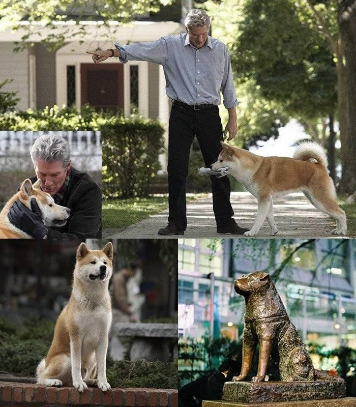 Американский акита ину: описание породы собаки хатико