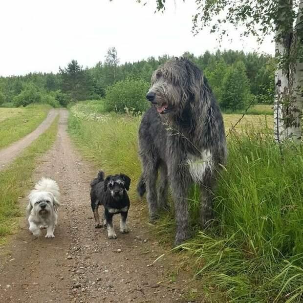Собаки волкодавы