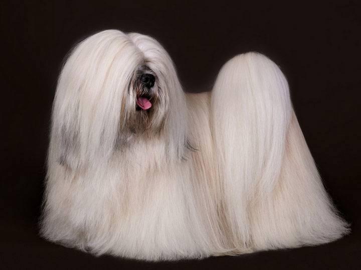 Тибетская порода собак лхаса апсо, описание, фото, цена