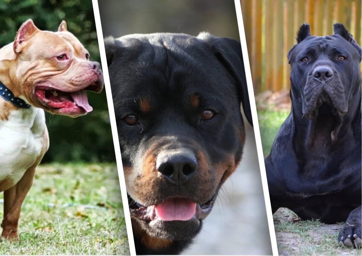 Топ самых опасных и агрессивных пород собак
