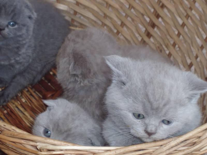 Основные сведения о британской короткошерстной кошке с фото