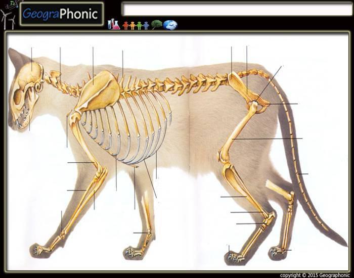 Строение скелета кота, кошки и котенка: фото с названием и описанием костей