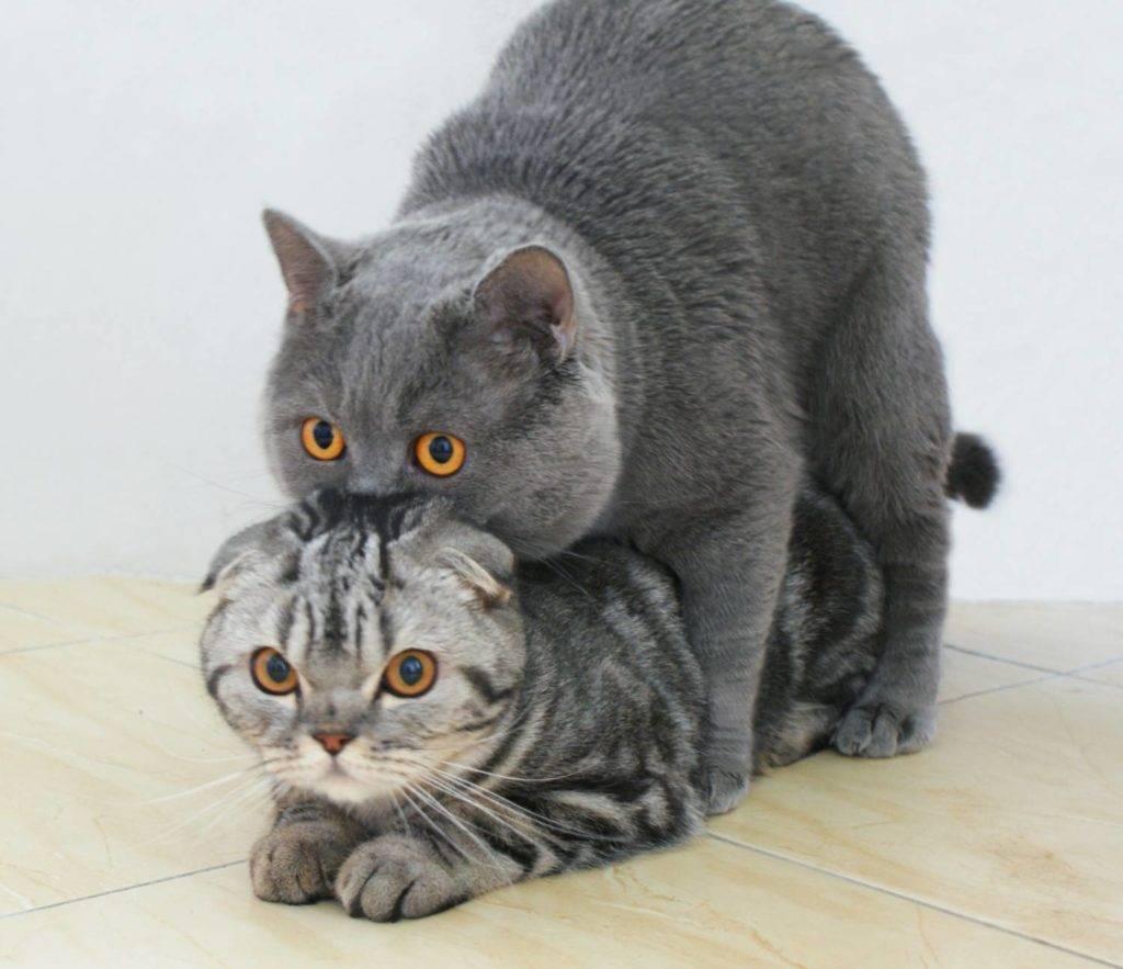 Вязка котов и кошек: как происходит спаривание, нюансы во время первой вязки кота или кошки, возможные сложности и как их преодолеть