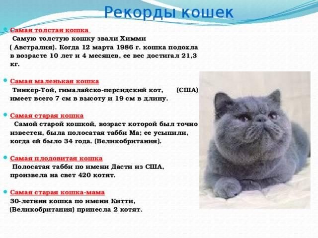 Рост кошки – породные особенности, причины отставания в росте