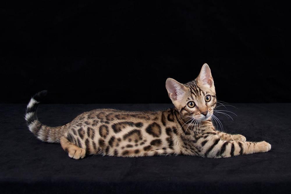 Бенгальская кошка: характер иописание породы, вопросы содержания, цена котят ифото + отзывы