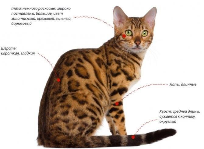 Бенгальская кошка глазами ветеринара