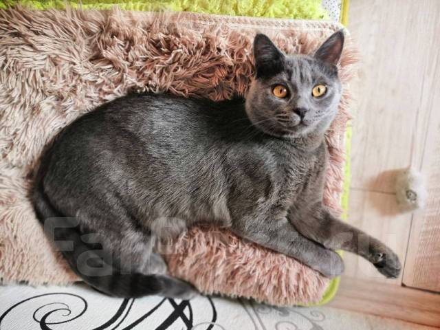 В каком возрасте кастрируют котов британцев - во сколько месяцев можно сделать операцию