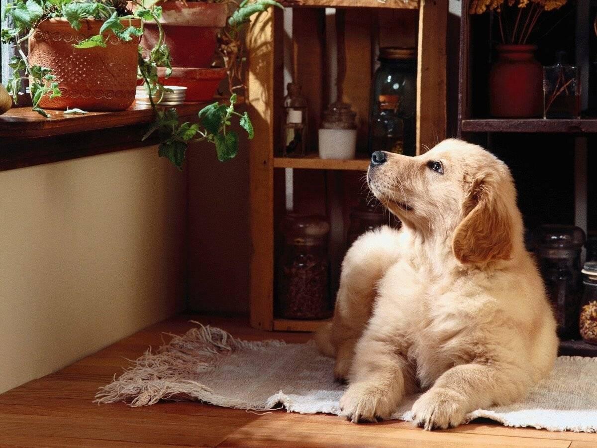 Породы собак для квартиры и детей – фото, название, описание