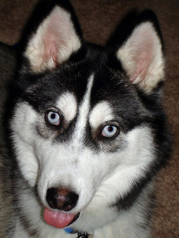 Хаски и лайки: как отличить собак по описанию и характеристике, цвету глаз при выборе голубоглазого щенка