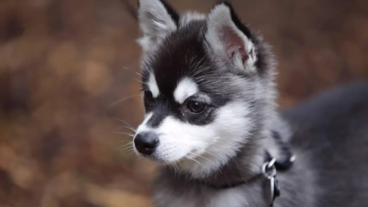 Аляскинский кли кай – это декоративная порода собак или мини хаски