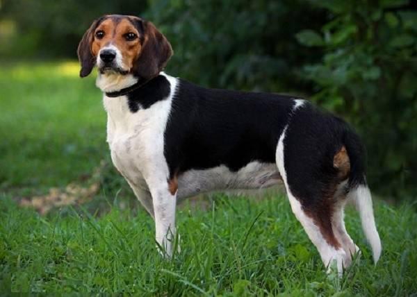 Описание собак породы эстонская гончая
