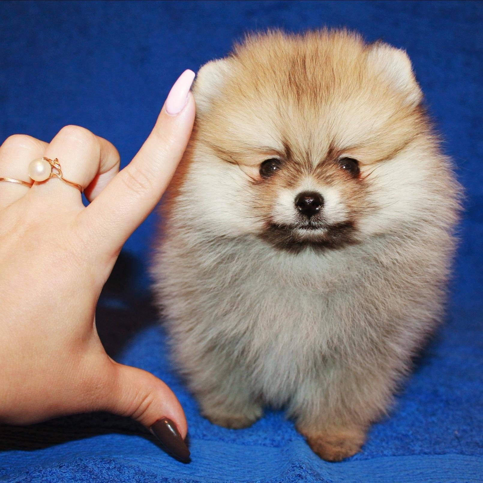Немецкие шпицы: фото и видео породы собак, описание стандарта малых, средних и больших шпицев