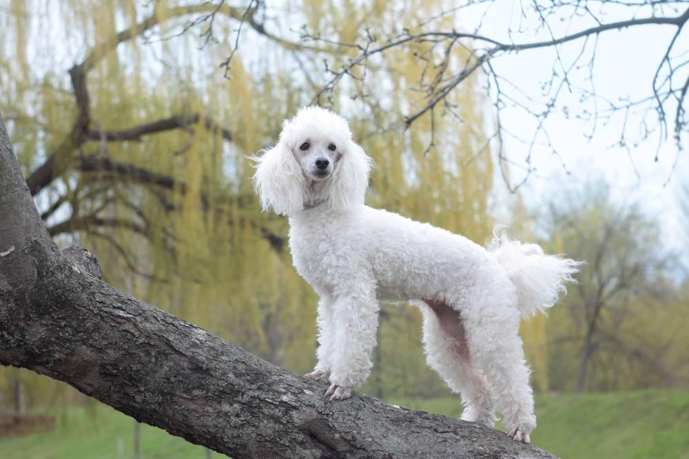 Собака пойнтер: описание и фото породы