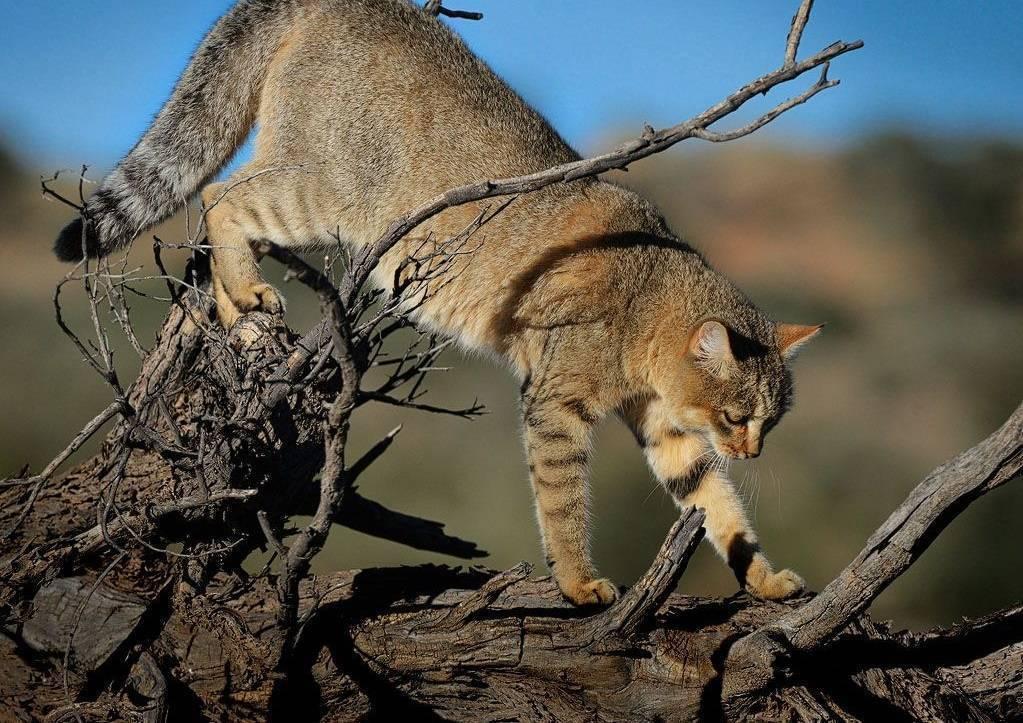 Степной кот | мир животных и растений