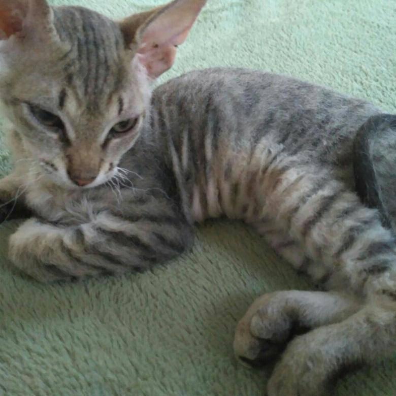 Кошки породы метис (28 фото): описание породы и ее происхождение. какие существуют смешанные породы метисов? особенности ухода и советы по выбору котенка