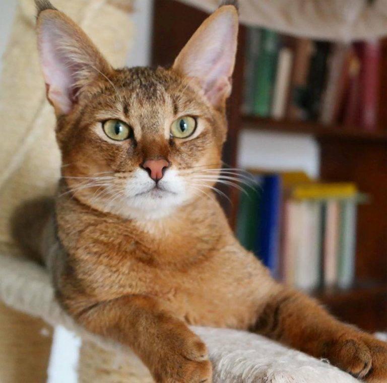 Чаузи: история порорды, внешность, характер и условия содержания кошки