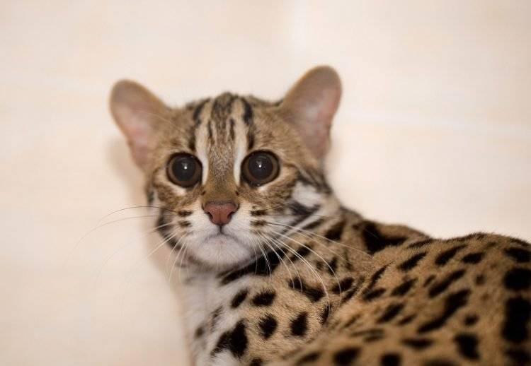 Какие породы кошек самые умные