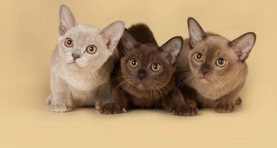 Бурманская короткошерстная кошка: описание породы и характера