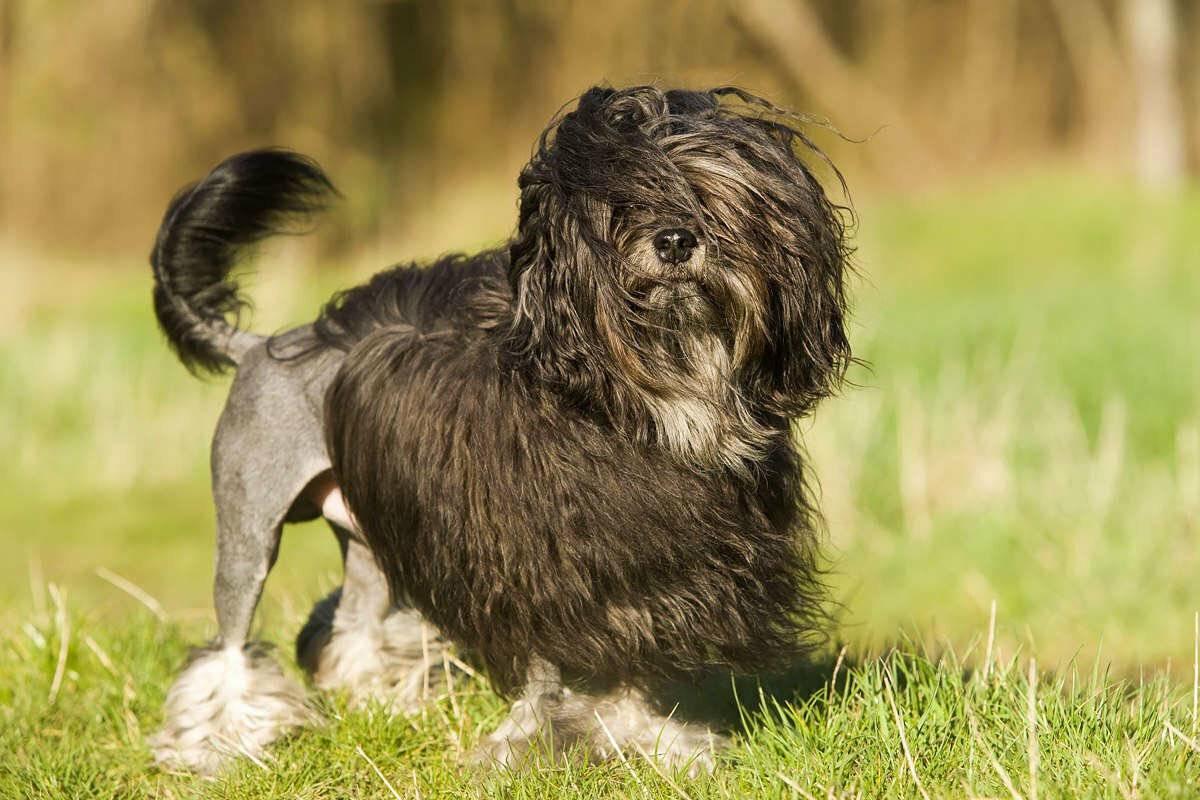 Малая львиная собака (little lion dog) - животные и природа