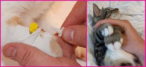 Учимся делать укол кошке в холку и внутремышечно - квартира, дом, дача - медиаплатформа миртесен