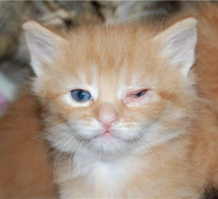 У котенка гноятся, не открываются или красные глаза: что делать и чем лечить