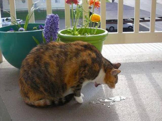 Рахит у кошек - симптомы и лечение, меры профилактики