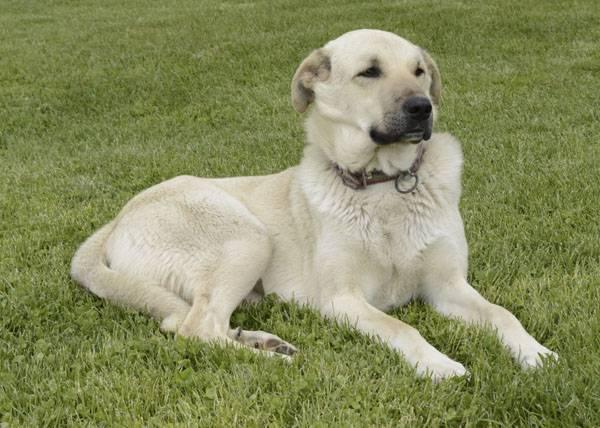 Особенности породы собак турецкий акбаш: темперамент и содержание
