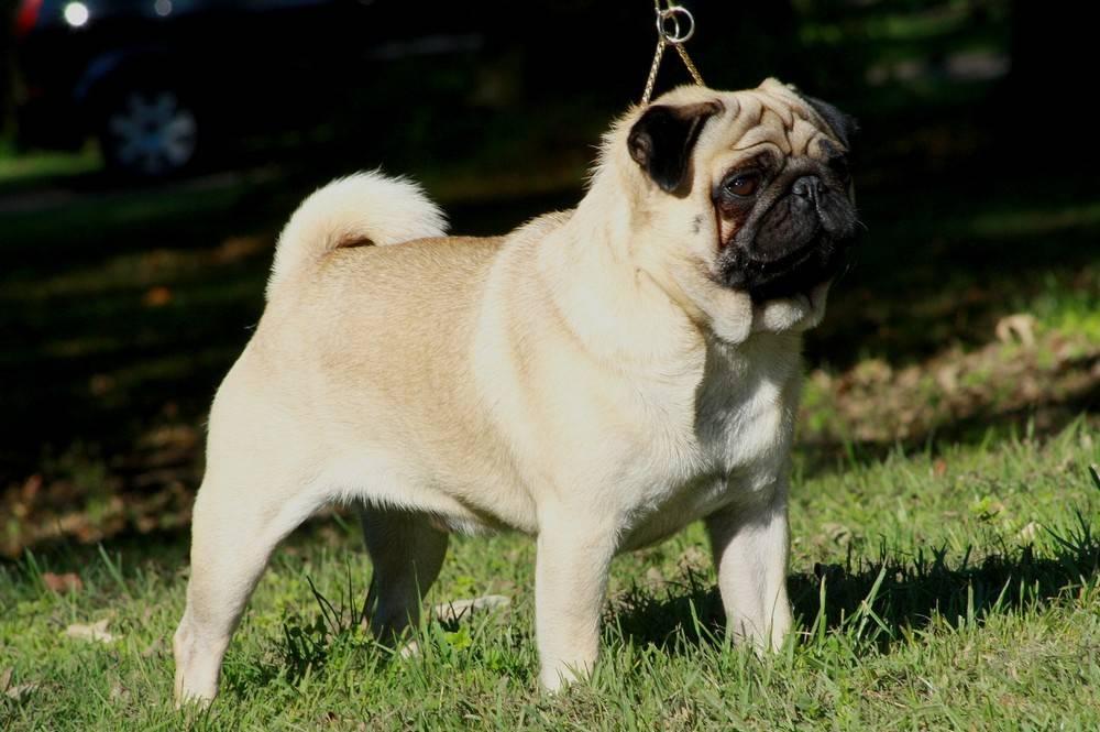 Мопсы характеристика породы: все о собаке, характер, особенности ухода и содержания