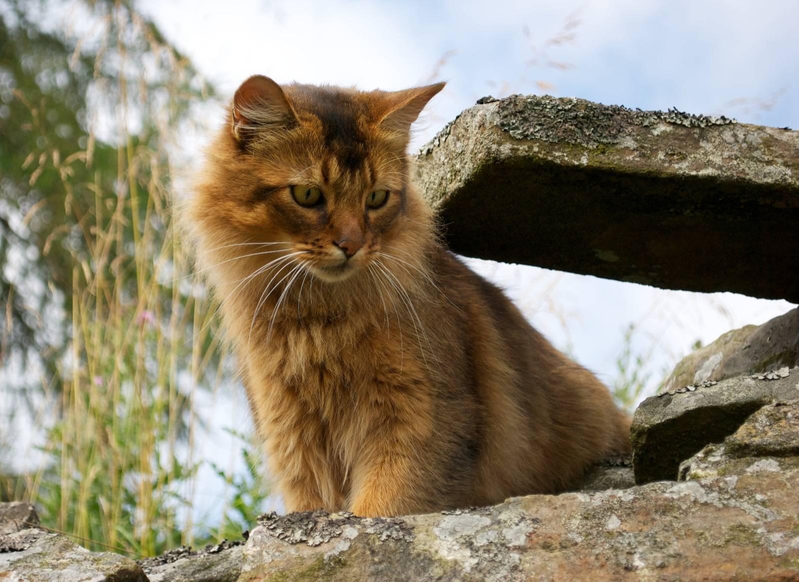 Сомалийская кошка (44 фото): описание котов породы сомали, особенности характера котят. варианты окраса