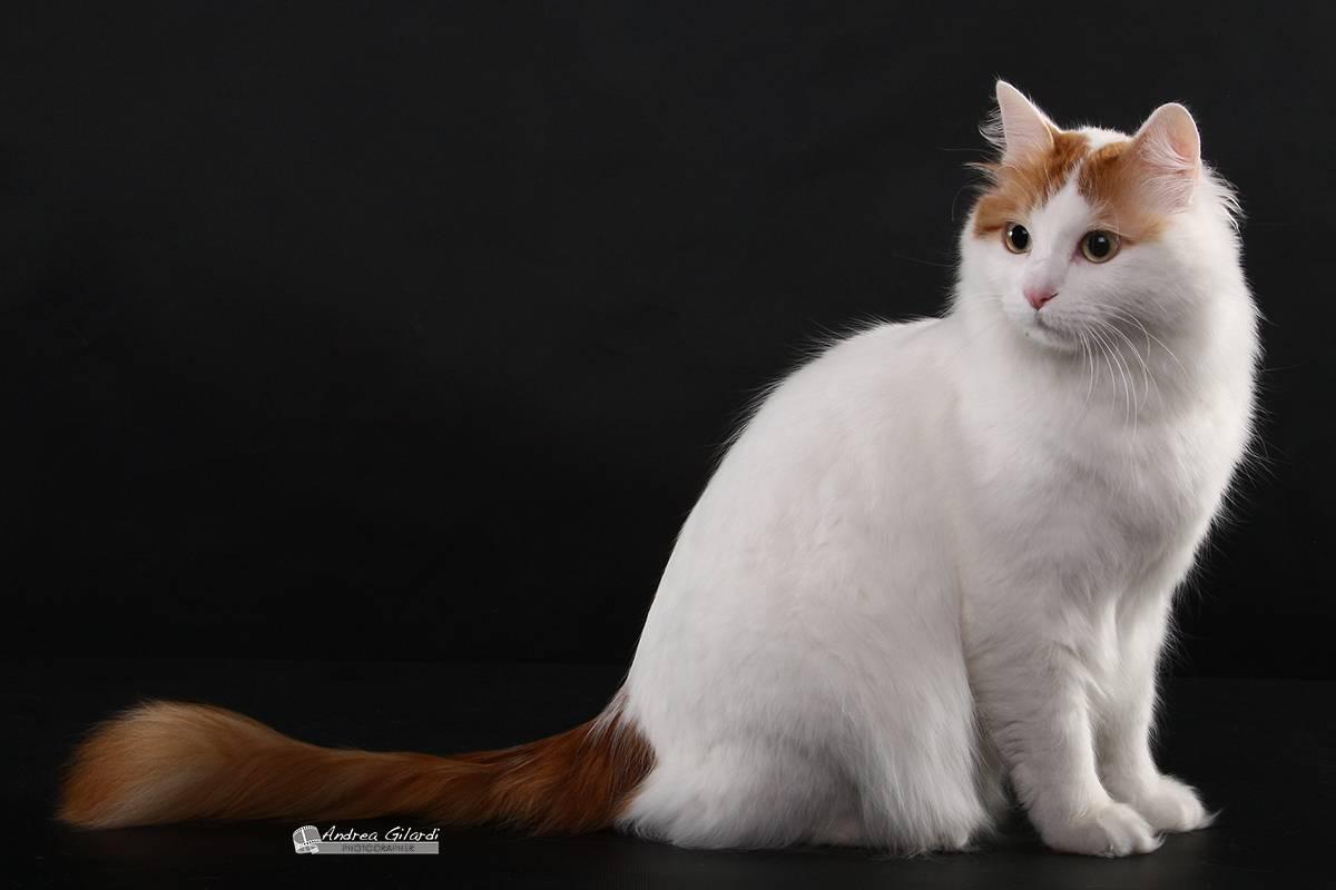 Турецкая ангора - порода кошек - информация и особенностях | хиллс