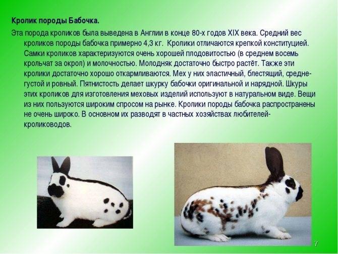 Кролик бабочка: описание породы, фото, характеристика, отзывы
