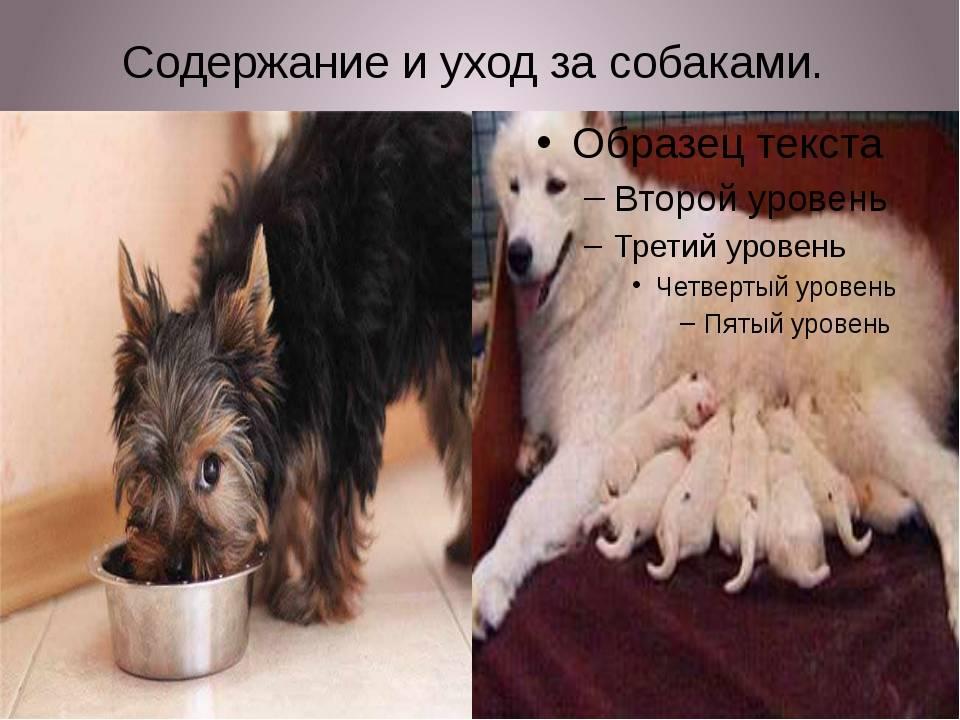 Уход за гладкошерстными собаками в домашних условиях