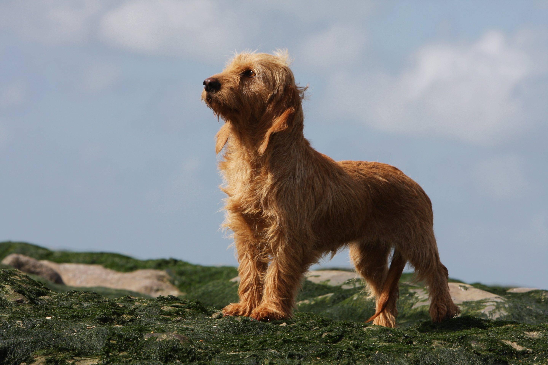 Рыжий бретонский бассет - порода собак: описание, фото, история, содержание и дрессировка, болезни бассетов