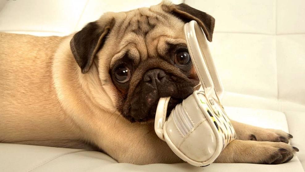 16 причин, которые убедят вас в том, что мопсы самые милые и забавные собаки