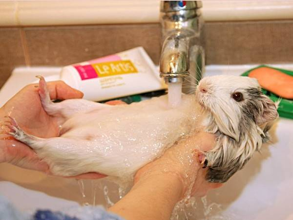 Можно ли мыть крысу: инструкция по купанию декоративных крыс в домашних условиях