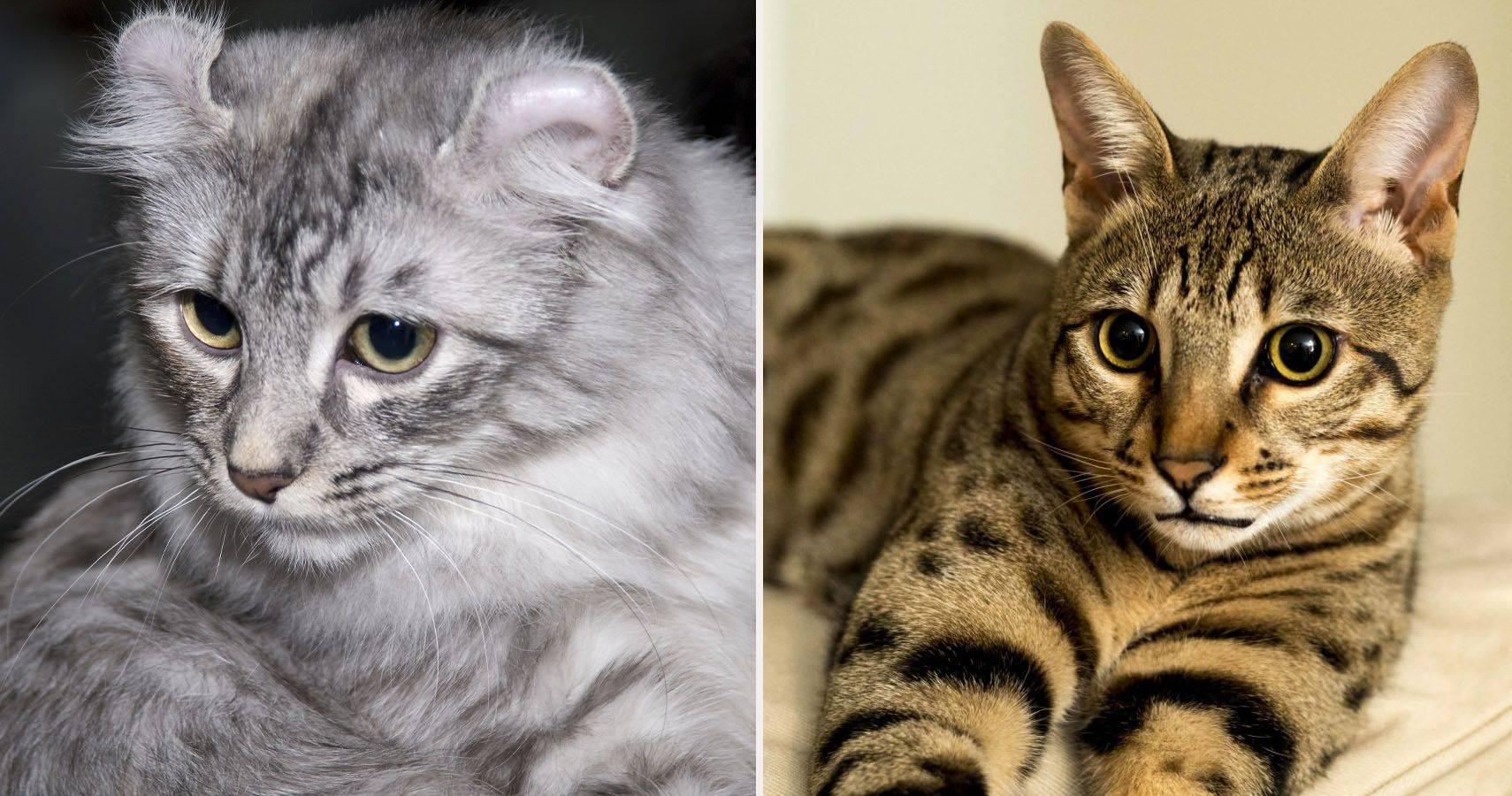 Порода самых умных кошек в мире: рейтинг с фото и описаниями