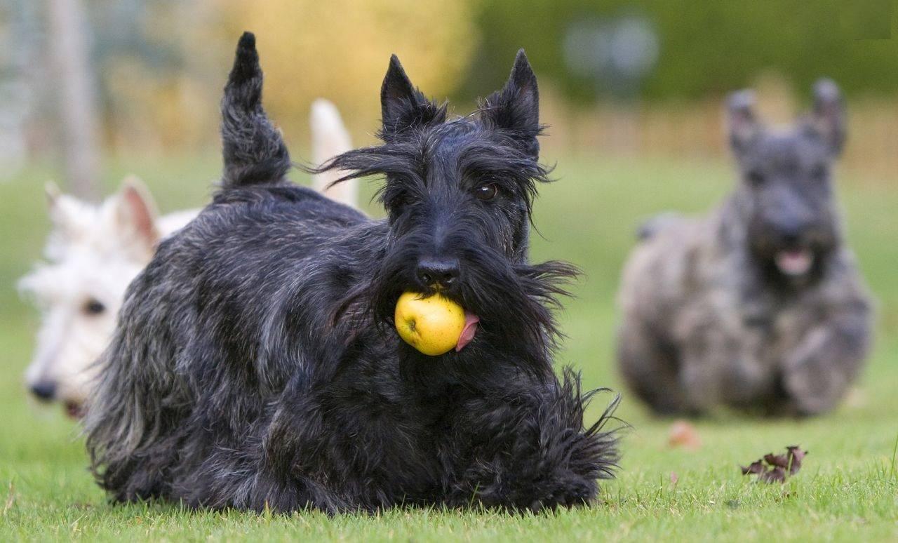 Порода собак скотч-терьер - описание, характер, характеристика, фото скотч-терьеров и видео, цена шотландских терьеров
