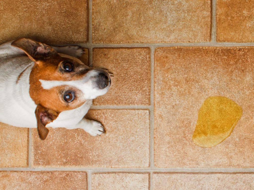 Почему собака метит территорию?