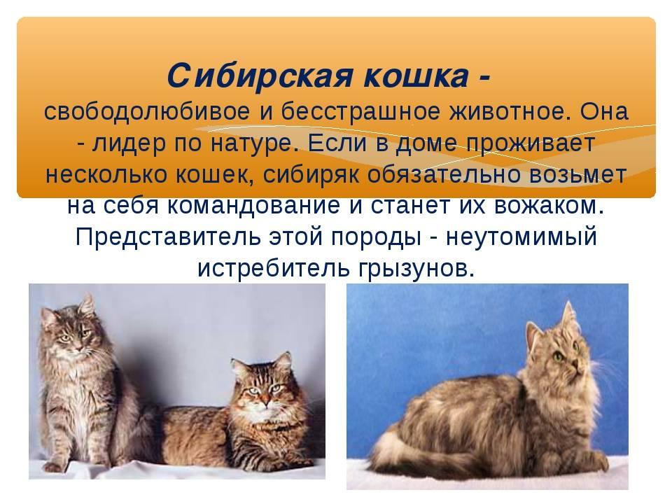 Невская маскарадная кошка: фото окрасов, цена, описание породы, характер